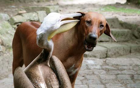 Пеликан-сыщик