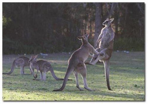 Бои кенгуру