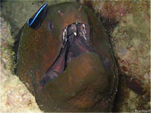 Рыба-стоматолог