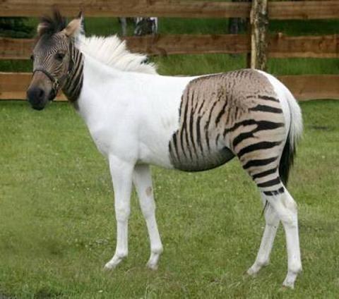 Зебролошадь