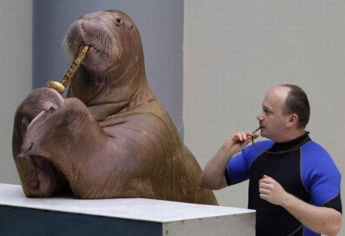 Прикольный морж