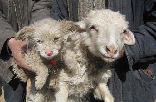 Овца родила собаку