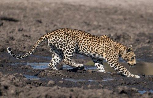 Леопард и рыба